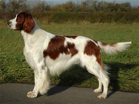 english setter dog red white lomonosov irish red and white setter irws info puppies pictures