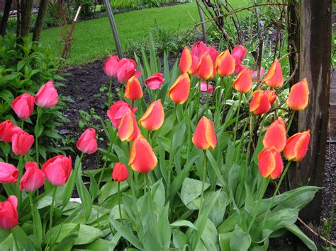 planting tulips that bloomin garden