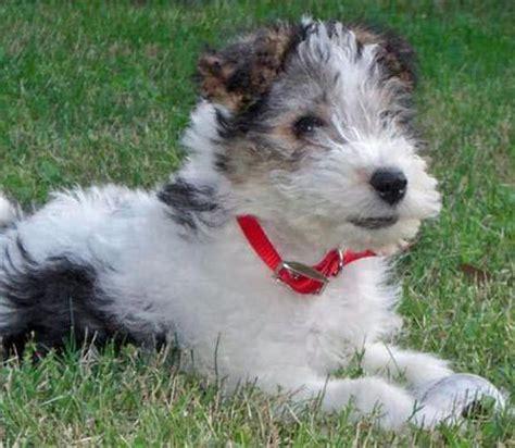 fox terrier puppy wire fox terrier info temperament grooming puppies pictures