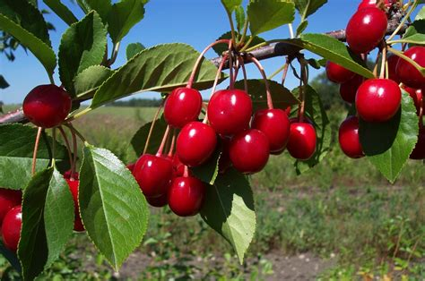 fruit trees selecting fruit trees the backyard gardener anr blogs