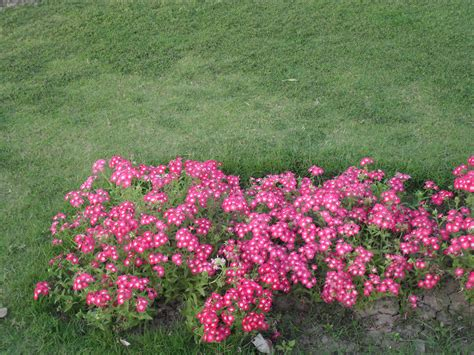 file pink flowers shrub jpg - Shrub With Pink Flowers