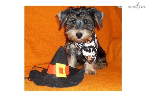 yorkie poo pictures and facts yorkie poo puppies information pictures breeds picture