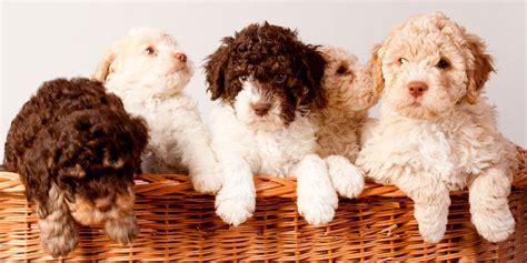 lagotto romagnolo puppies lagotto romagnolo information characteristics facts names