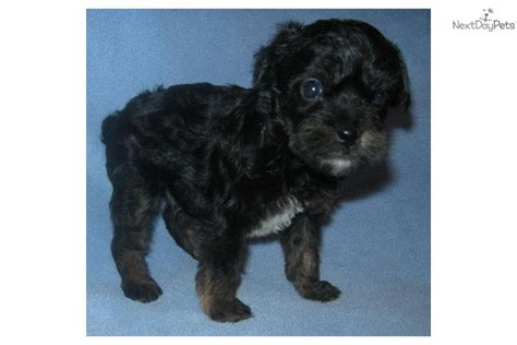 affenpinscher puppies for sale meet gilligan a affenpinscher puppy for sale for 200 sale pending poofenjack