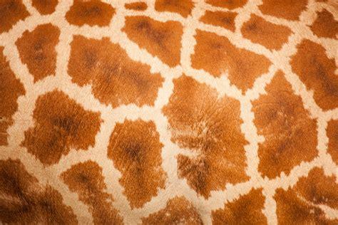giraffe pattern image giraffe skin pattern free stock photo public domain pictures