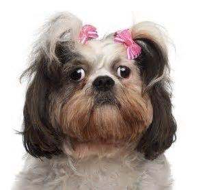 shih tzu habits 1000 images about on poodles care and poodle mix