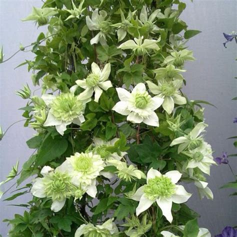 green climbing plants clematis seed patio and garden balcony potted green plants