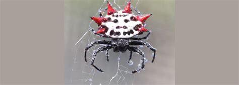 sw spider house identify spiders in southwest florida naples fl premier pest management