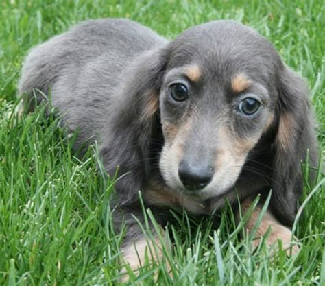 dachshund colors different types of dachshunds with pictures
