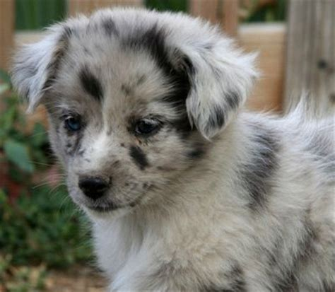 german australian shepherd puppies for sale german shepherd australian shepherd mix puppies photo happy heaven