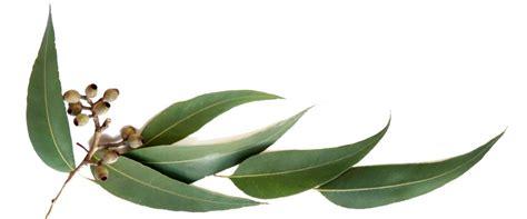 manfaat kegunaan minyak kayu putih eucalyptus oil