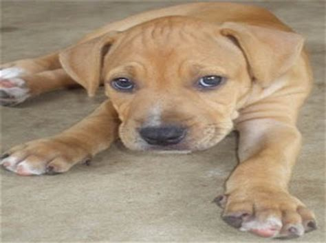brown pitbull puppies american pit bull registry brown pit bull puppy pictures