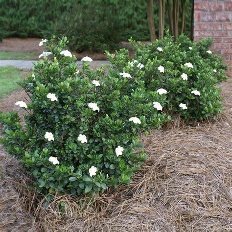 dwarf radicans gardenia    images fast