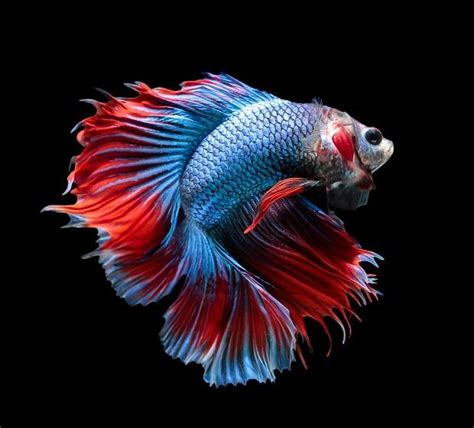Cara Menghasilkan Warna Ungu Pada Ikan Cupang | cara mempercantik warna sirip pada ikan cupang hias