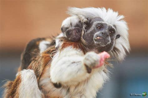 twins born  la palmyre zoos tamarin couple zooborns