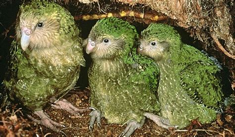 baby parrot called the kakapo parrot of new zealand strigops habroptilus also called owl parrots are large