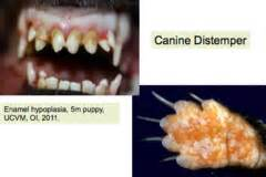 how do dogs get distemper canine distemper virus