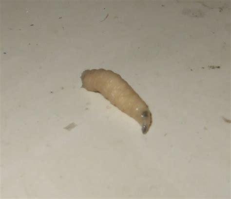 piccoli vermi bianchi in casa piccoli vermi bianchi fanno