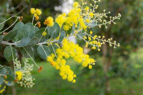 acacia podalyriifolia pearl acacia
