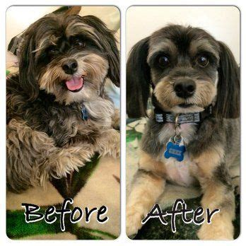 cockapoo haircuts before and after best 25 cockapoo grooming ideas on pinterest cockapoo