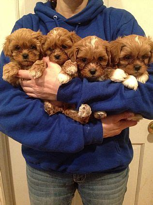 want ad digest puppies shipoo pet puppies for sale in ny want ad digest classified ads pets