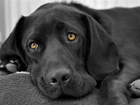 black dogs black beautiful dogs wallpaper