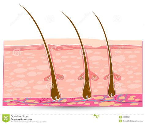skin layers healthy normal human skin royalty free vector skin anatomy stock photography image 19861292