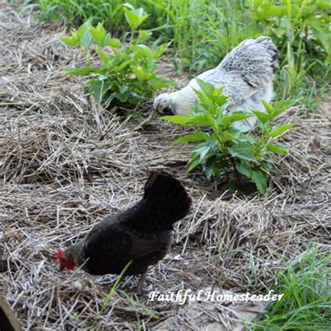 Health Benefits Of Backyard Chickens Faithful Benefits Of Backyard Chickens