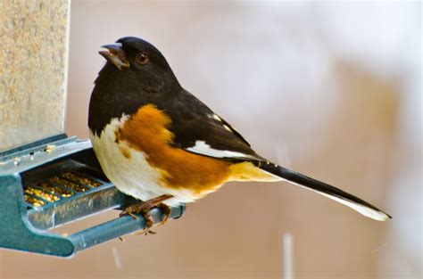 all about birds eastern towhee