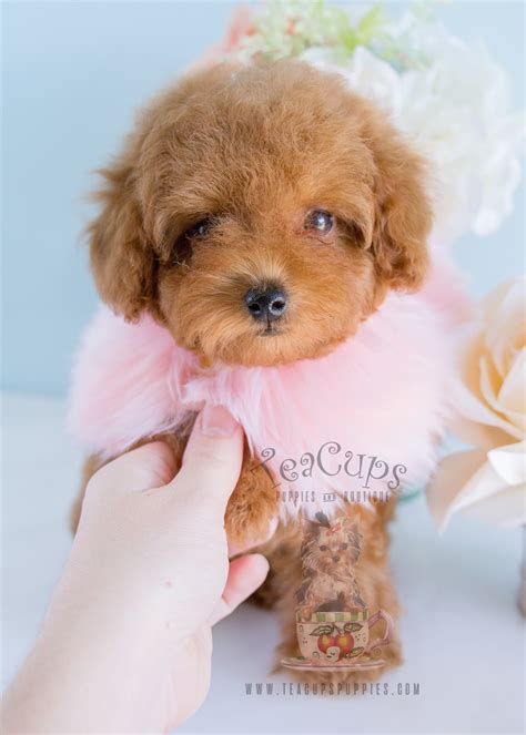 puppies for sale florida teacup puppies for sale and boutique and teacup yorkies autos post