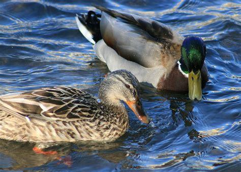 ducks in backyard back yard ducks 2015 best auto reviews