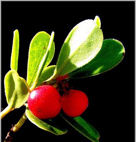 imagenes de uva ursi foto natura huesca 2 gayuba arctotaphylos uva ursi l