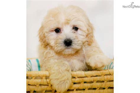 cavapoo puppies for sale in ohio cavapoo puppy for sale near columbus ohio f6db7e74 46e1