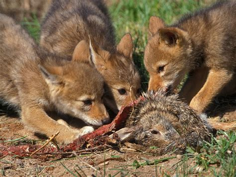 do coyotes eat dogs coyote human www imgkid the image kid has it
