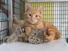 Cat Adoption New Albany Floyd County Animal Shelter 187 Adopt A Feline