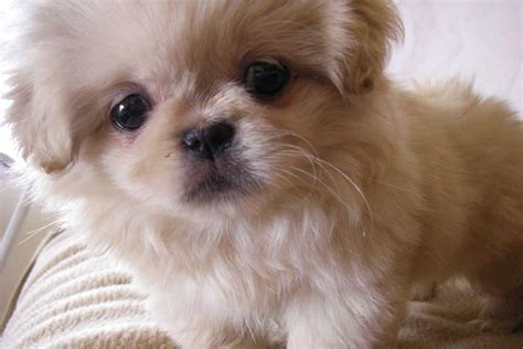 puppies for sell pekingese puppies for sale bazar