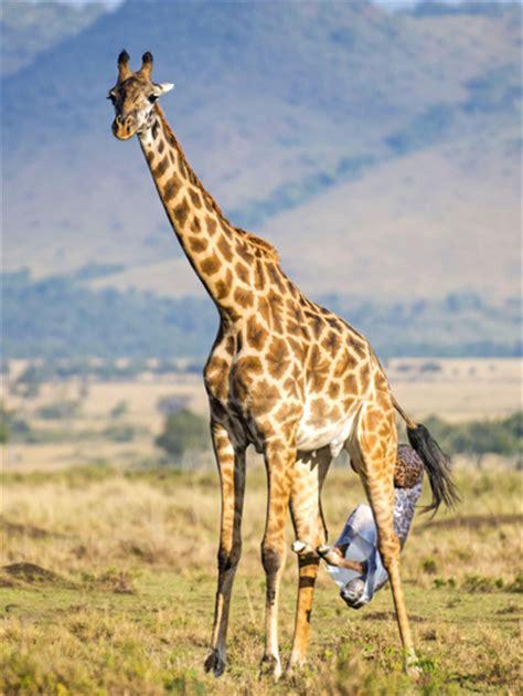 imagenes elefantes jirafas adictamente el nacimiento y los primeros pasos de una jirafa