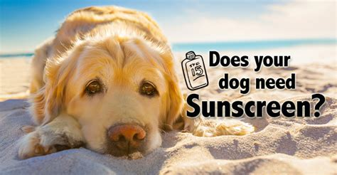 sunscreen for dogs 4 reasons why your might need sunscreen