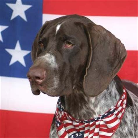 German Shorthaired Pointer Shedding by 1000 Images About German Shorthair Pointers Best Dogs