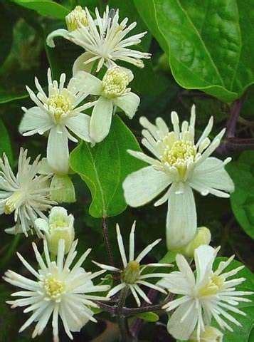 clematis fiore di bach clematis fiori di bach clematis vitalba cosa 232 e a