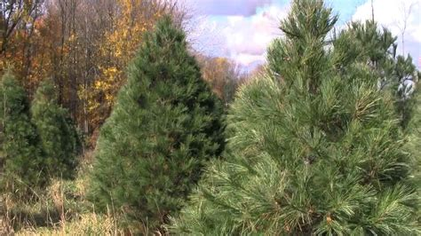 christmas tree species eastern white pine youtube