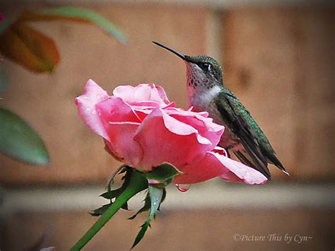 hummingbird on pink rose cynthia flickr