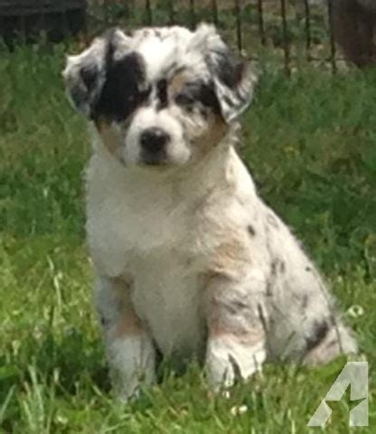 australian shepherd puppies for adoption beautiful australian shepherd puppies for adoption for sale in batesville indiana