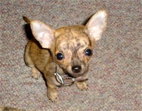 how many puppies does a chihuahua my chihuahua chiwawa information guide