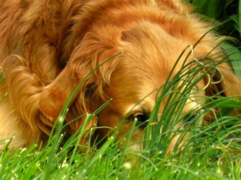 golden retriever study golden retriever lifetime study may hold answers to canine cancer petslady