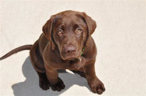lab puppies oregon chocolate lab puppies for sale oregon
