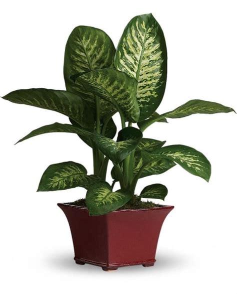dumb cane dieffenbachia best low light houseplants 10 super easy house plants to grow indoor garden mandy