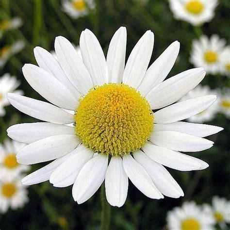 fiore camomilla infuso di camomilla infusi