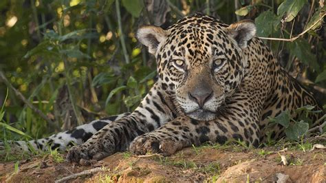 Jaguar National Geographic Jaguar Supercat Big Cat Week Episode Nat Geo