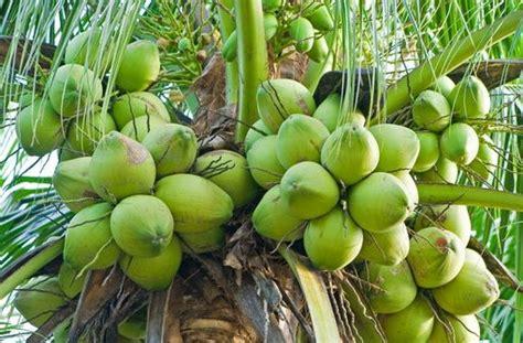 Bibit Kelapa Hibrida cara budidaya kelapa kopyor yang baik dan benar agrotani